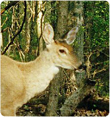 Close up of whitetail deer
